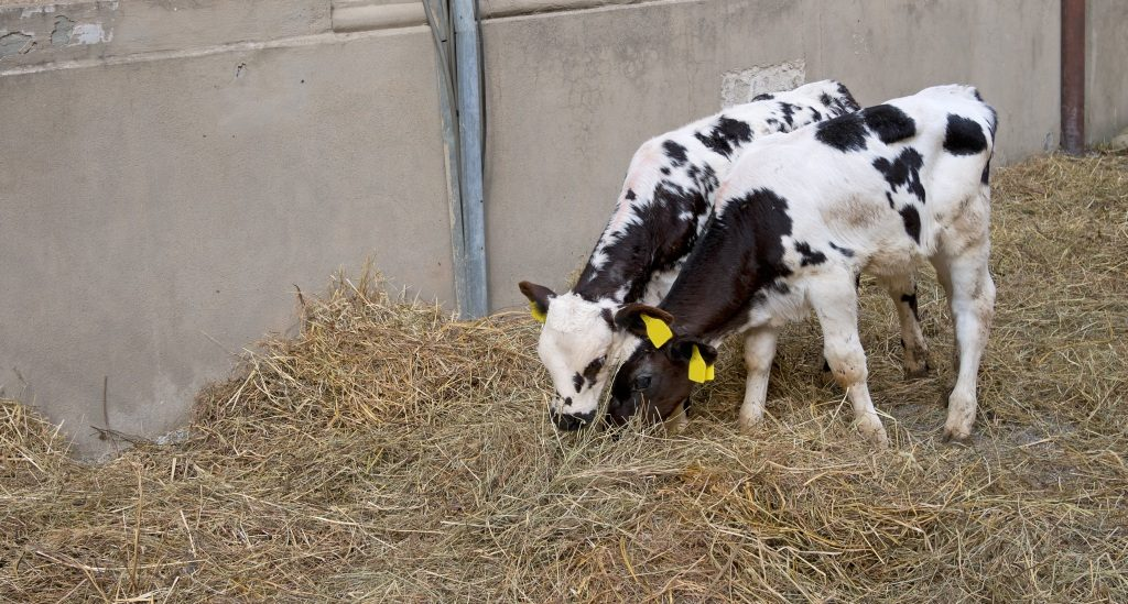 cow-and-calf-indoor