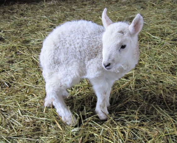Hypothermia in lambs