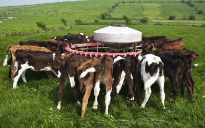 10 steps every farmer needs to follow when feeding calves