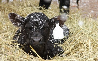 Calf care during the cold snap